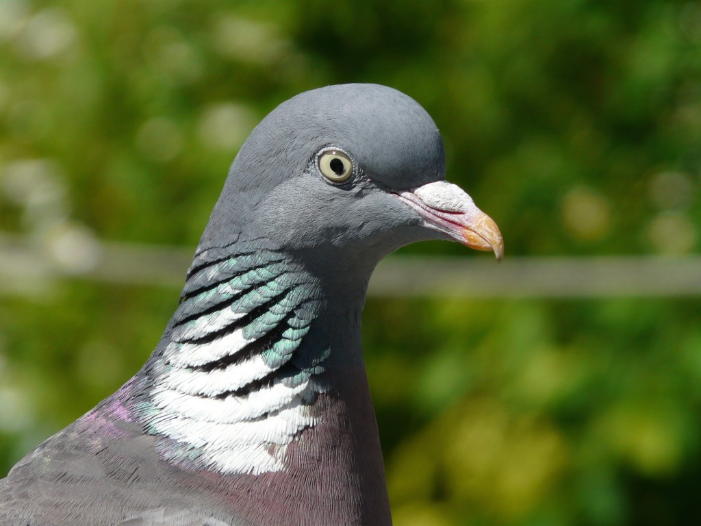 BP3_Img5a_Woodpigeon5