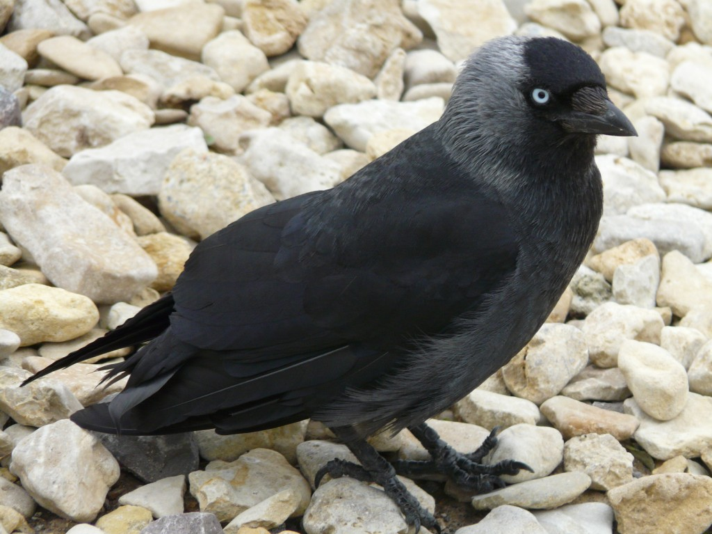 BP3_Img5b_Jackdaw3_small